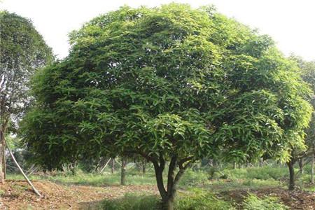 家里种桂花树在风水上有什么讲究
